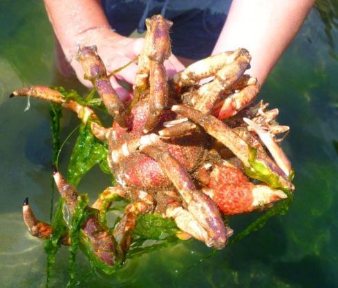 sp[ider crab 2